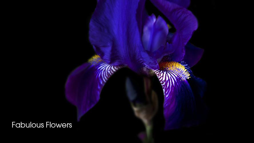 Iris hidctoe bartim cotswolds photographed by flower photographer Andrew Ogilvy Photography 1 c v14