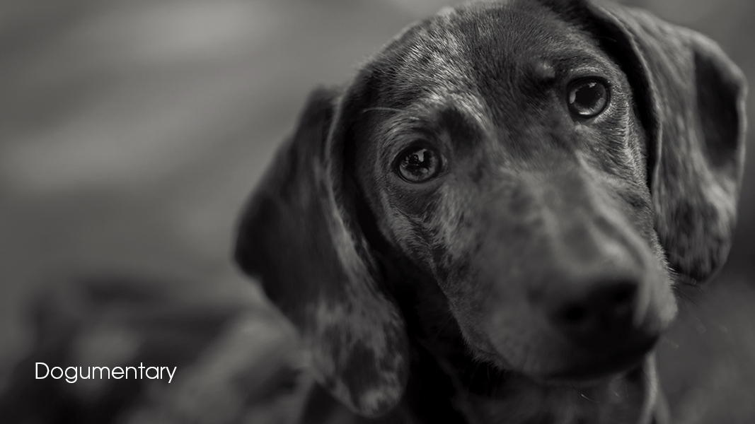 D46A0162 BW Dappled dachshund Chipping Campden dogs animal photographs by Cotswold Photographer Andrew Ogilvy Photography v3
